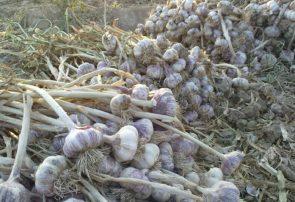 تولید سالانه ۴۷ هزار و ۲۶۴ تن سیر در آذربایجانشرقی
