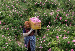 ترنم صادرات با رایحه خوش گل محمدی