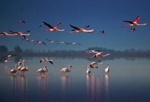 بازگشت فلامینگوهای مهاجر به سواحل دریاچه ارومیه پس از گذشت پنج سال