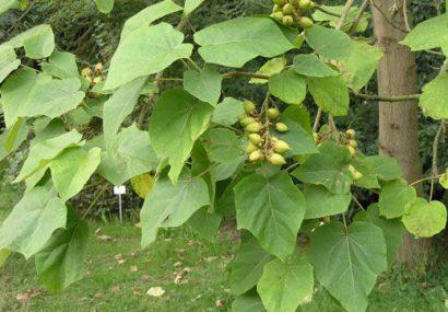 کشف و امحای ۱۵ هزار اصله گیاه پالونیا در بناب