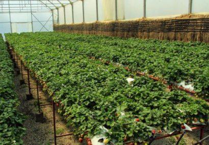 مجتمع گلخانه ای منطقه آزاد ارس در بین ۱۰ گلخانه برتر دنیا است