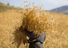 کشاورزان عاملان اصلی خودکفایی و صادرات