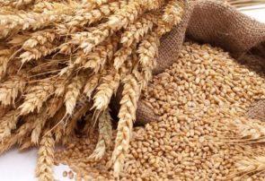 خرید ۲۱۸ هزار تن گندم از گندمکاران استان آذربایجان شرقی
