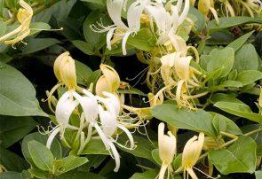 پیچ امینالدوله گیاهی بسیار سودمند برای بهداشت دهان