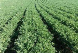 افزایش ۲ برابری محصول در کشت پاییزه نخود