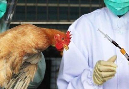 شناسایی اولین مورد مثبت از بیماری آنفلوانزای فوق حاد پرندگان در تبریز