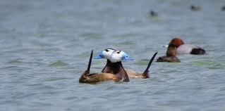 بازگشت اردکهای سرسفید به تالاب بین المللی قوری گل