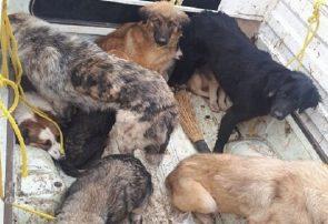اجرای عملیات جمع آوری سگهای بلاصاحب از سطح منطقه ۱۰ تبریز