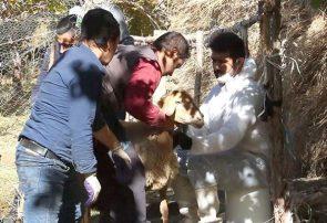 اتمام عملیات واکسیناسیون دامها در روستاهای زلزله زده