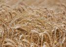 کشاورز میانهای رکورد تولید جو در کشور را شکست