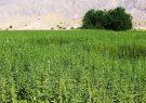 برداشت ۱۶۵ تن دانه کنجد در خداآفرین آغاز شد